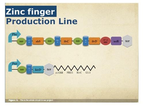 Gambar 5. Desain sirkuit genetik dan zinc finger NCTU-Formosa